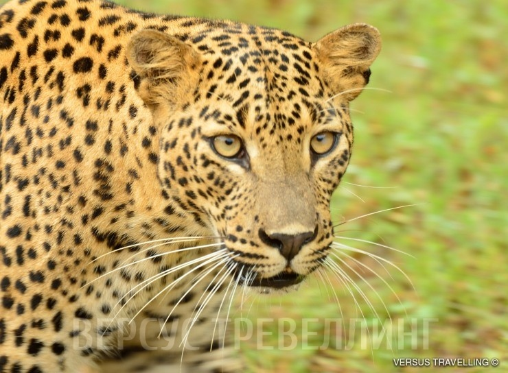 eb937a334edc Цейлонский леопард